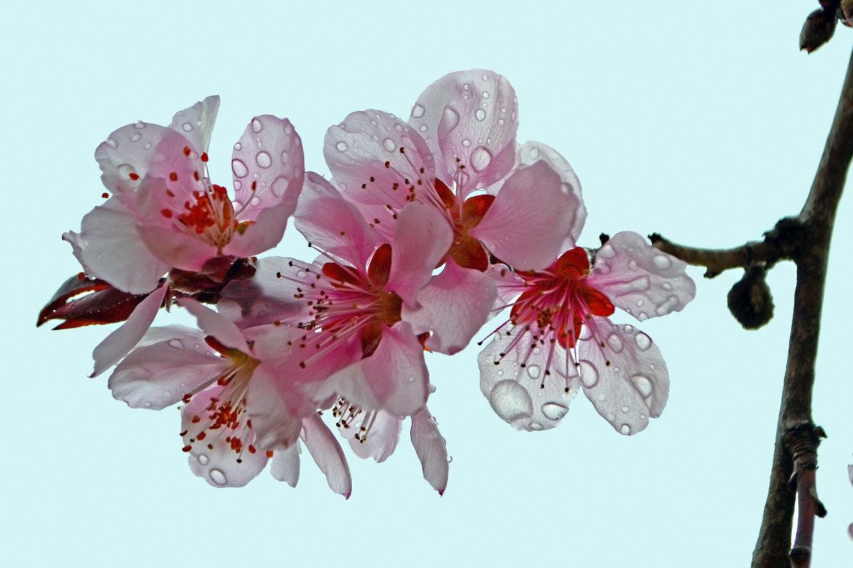 Сакуры дивные цветы - Nina Streapan