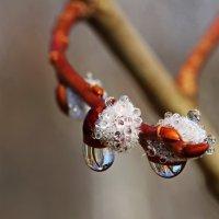 Весна в капельках... :: Ирина Коледова