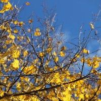 Желтые листья на фоне чистого осеннего неба :: Ольга Вишневская