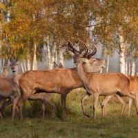 Осень в оленьем парке :: Julija