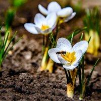 На первых цветках крокуса первая пчёлка :: iv12
