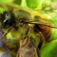 первые пчелки на фиалках :: Марина