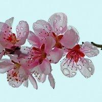 Сакуры дивные цветы :: Nina Streapan
