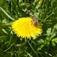 Пчелка на одуванчике :: Валерия Полникова