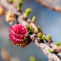 цветение лиственницы :: Анна Семенова