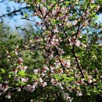 Пора цветения :: Татьяна