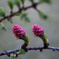 Лиственница цветёт :: Анастасия Стародубцева