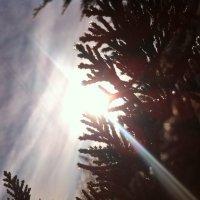 Ветки туи в снегу на фоне лучей солнца :: Лика