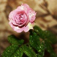 роза зацвела :: лана к