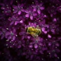 M.Пчела на Алиуме :: Yana Georgieva