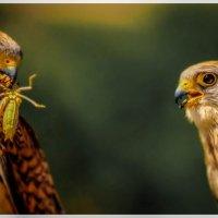 Ястребы - группа средних дневных хищных птиц семейства Accipitridae. :: Армен Абгарян