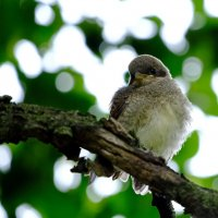 Птенец сорокопута :: Андрей Михайлин