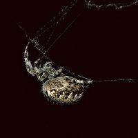 Ночной паук :: Анастасия