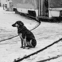 Собачье сердце... :: Сергей Офицер