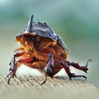жук носорог :: Alexander Asedach
