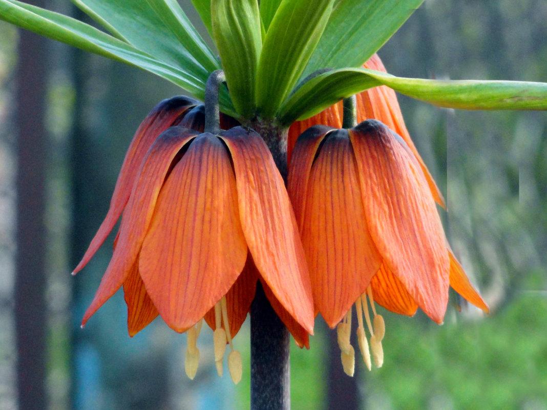 Цветок королевский рябчик описание