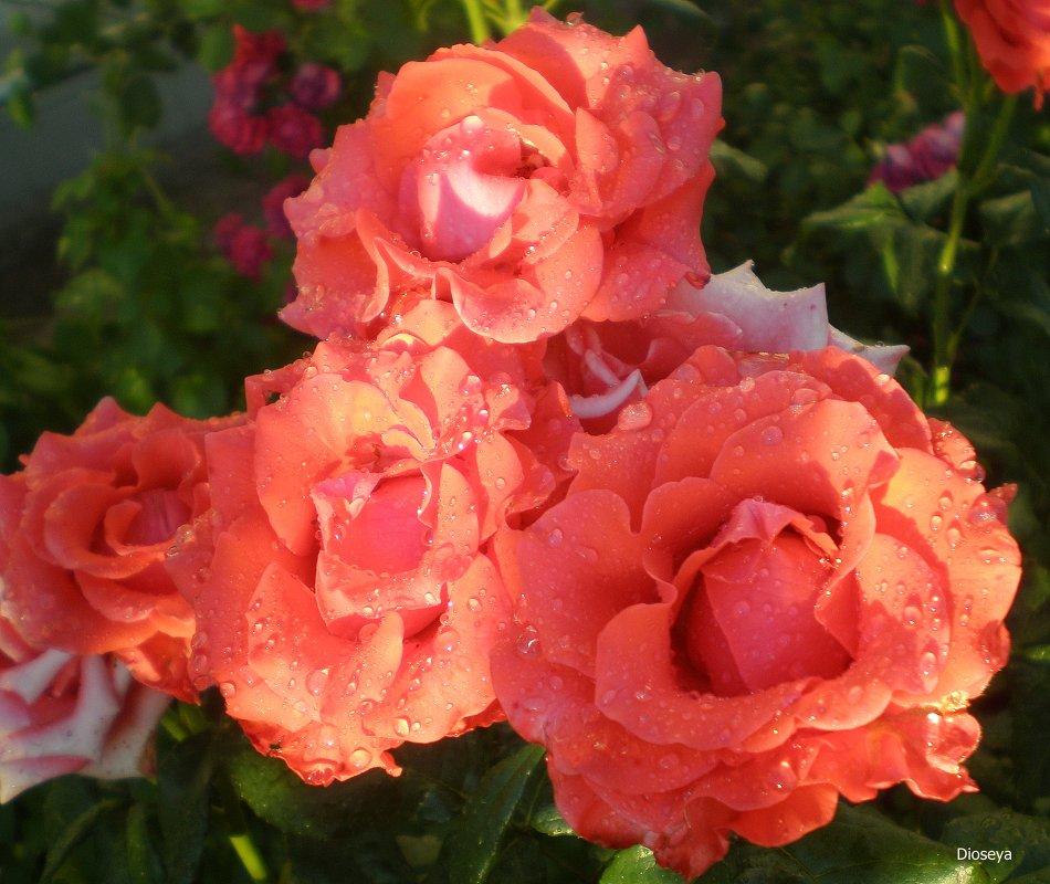 Розы в капельках - Татьяна Пальчикова