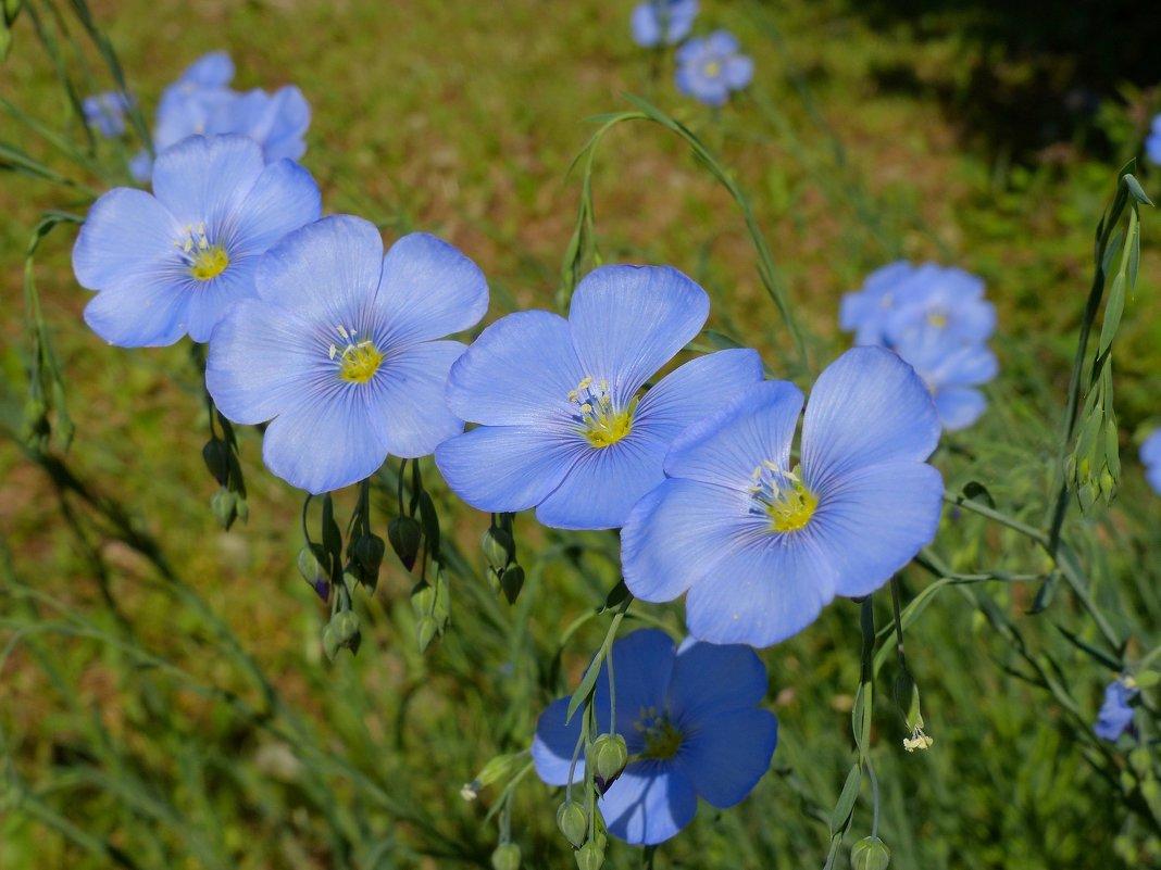Ленок цветы как сажать 53