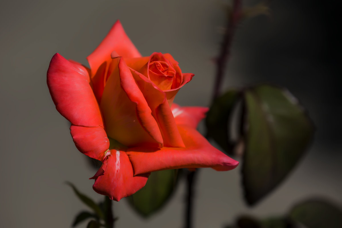 Красная роза - Николай Николенко