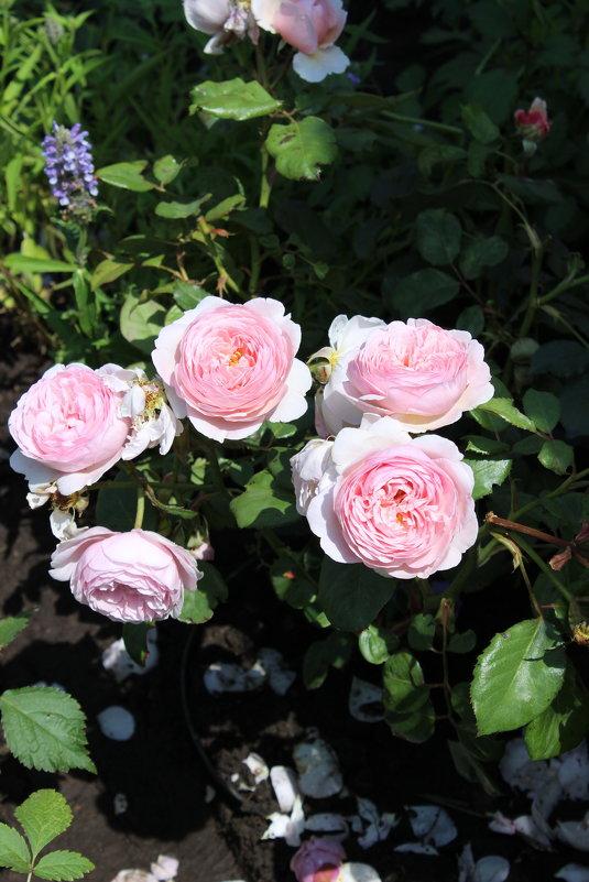 Розы - Ксения