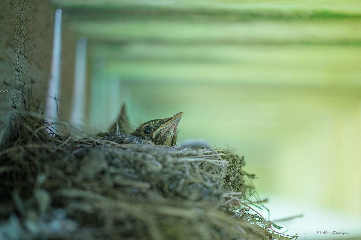 American Robin's babies - alex vasilyev