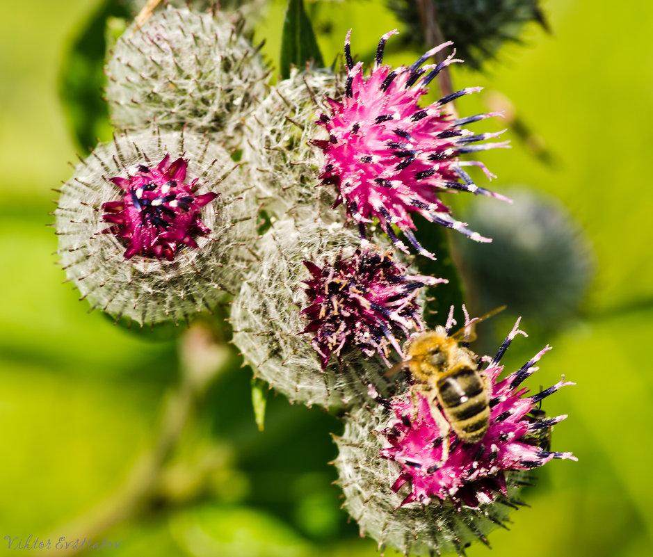 Пчёлка на репейнике. - Виктор Евстратов