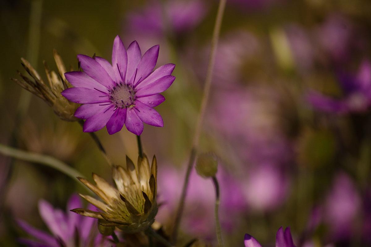 Полевой цветок (1 вариант) - Оксана Артюхова
