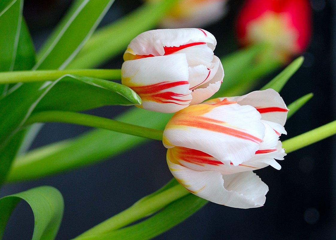 Тюльпаны - Сергей