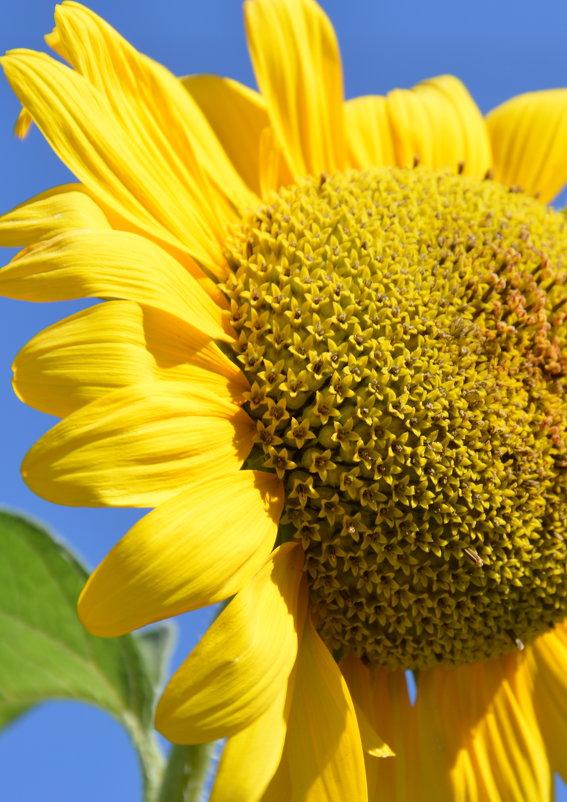 Подсолнух - символ единства, правосудия, процветания и солнечного света - Вадим Поботаев