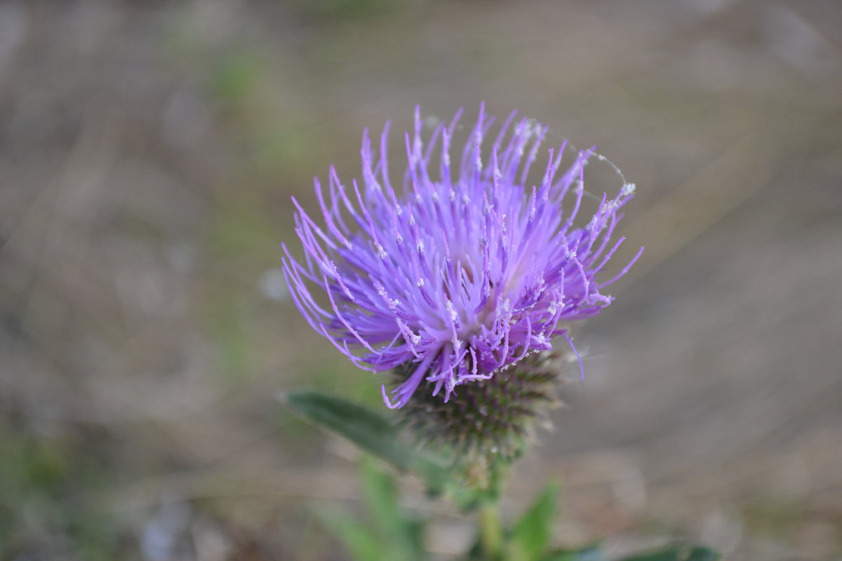 Цветок - Agnivarshi Малтыз