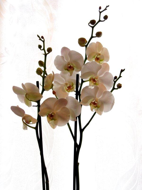 Роскошная орхидея - Екатерина Мовчан
