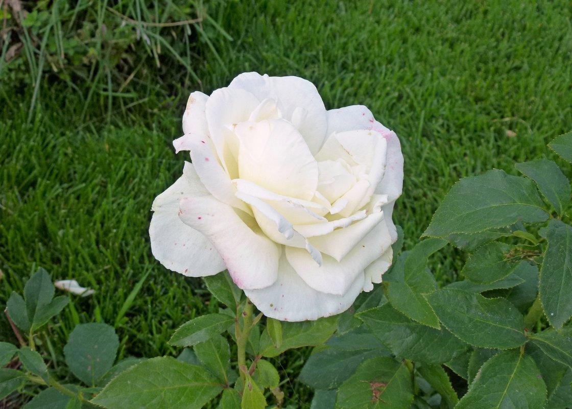Белая роза - Наталья (Nattina) ...