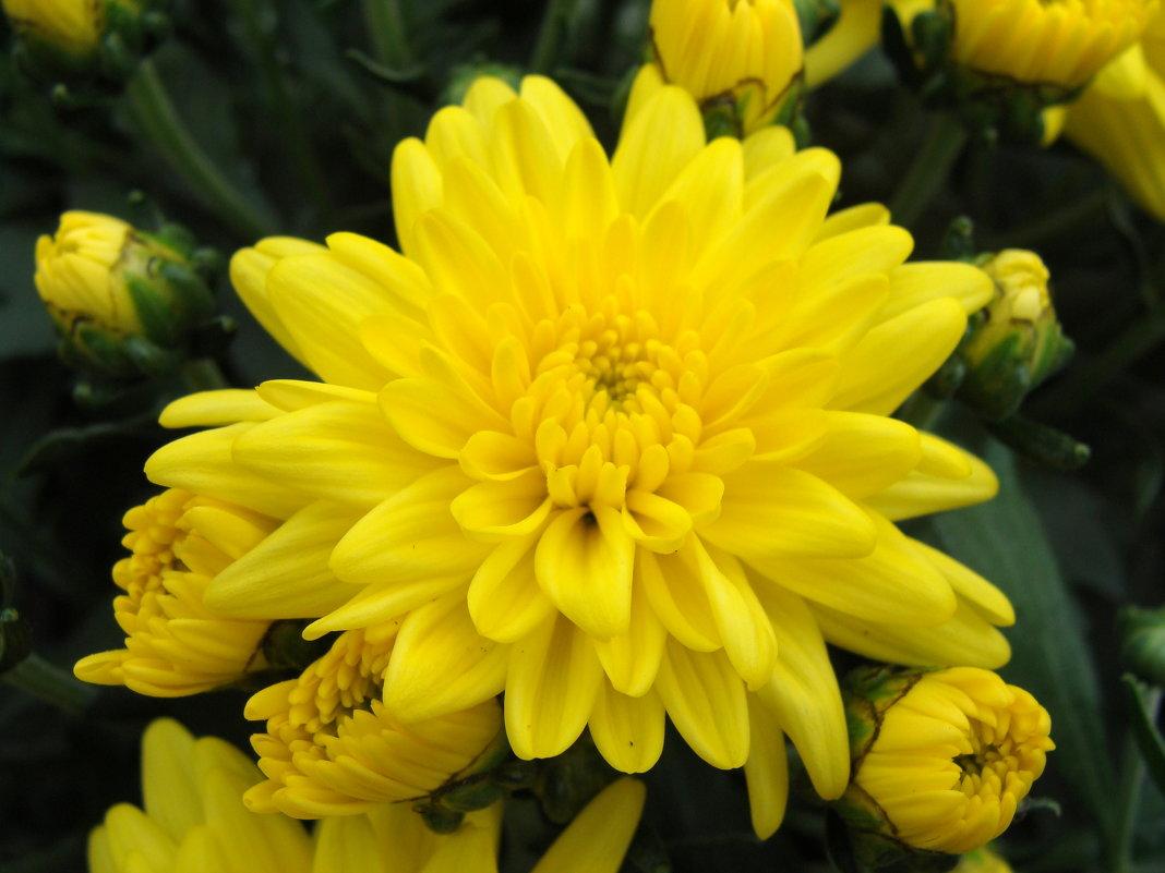 Хризантема - laana laadas