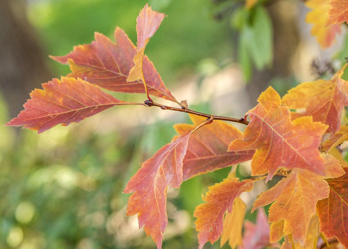 осенние листья - Лариса Батурова