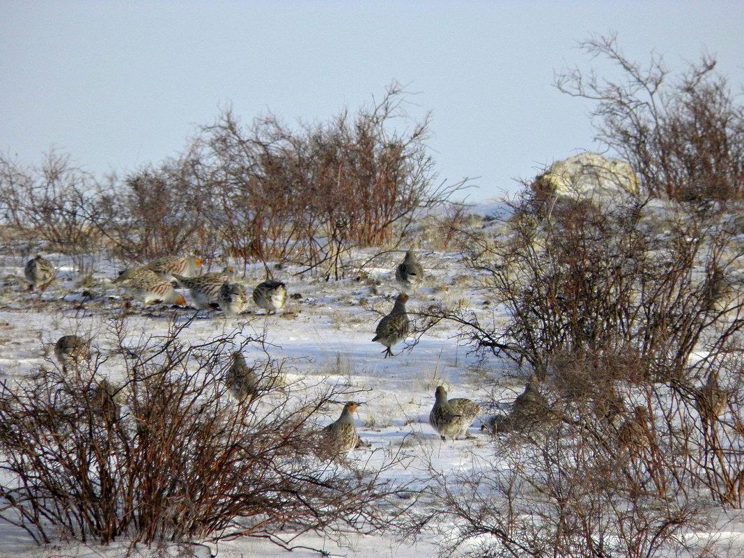 куропатки бегут от фотографа..никак не хотят фотографироваться) - Наталья Бридигина