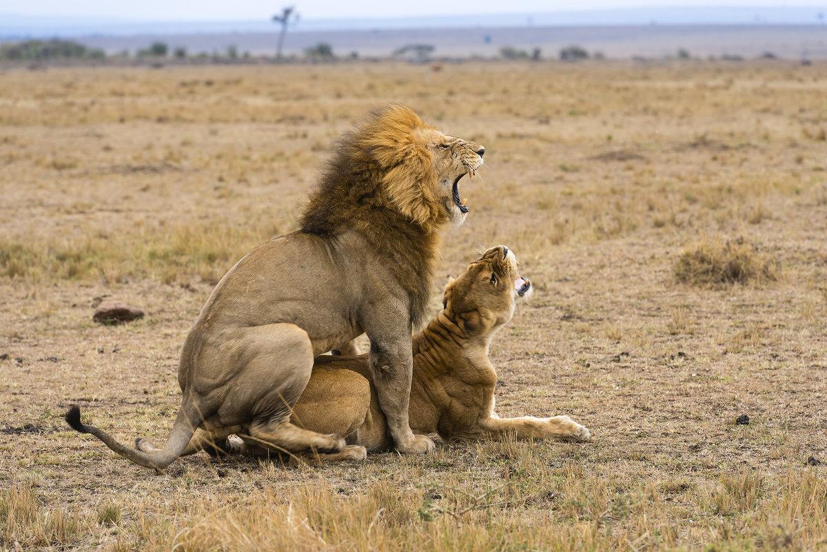 Знакомства львица