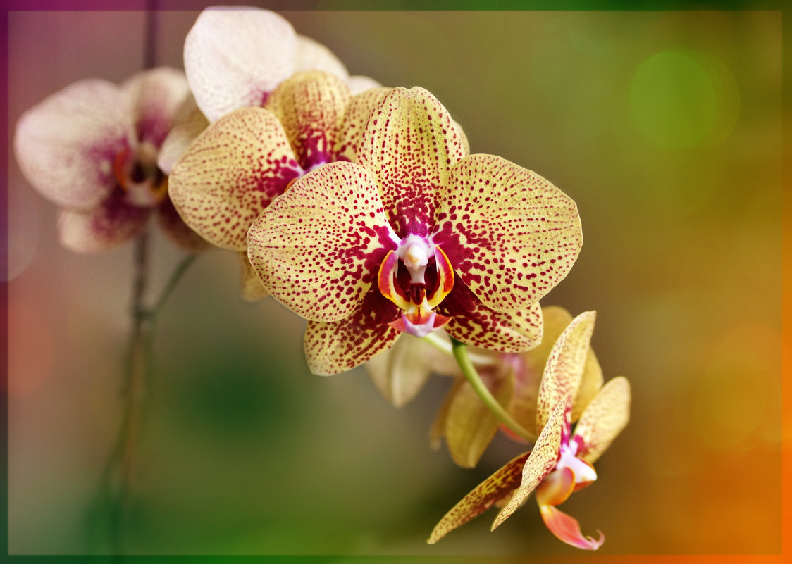 Орхидея. - Ольга Некрасова