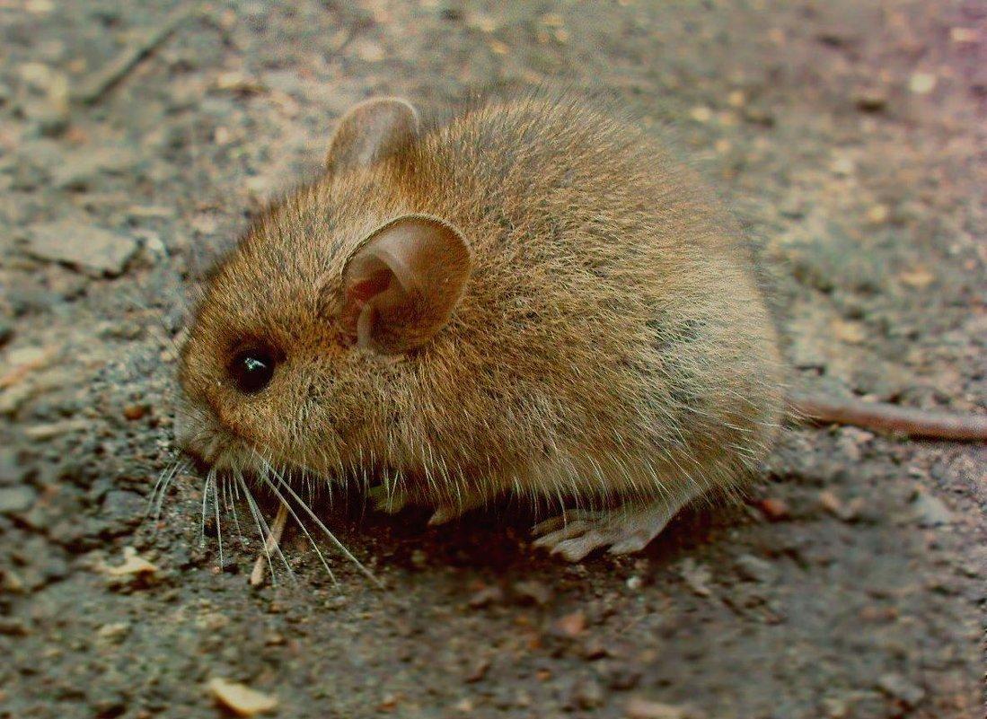 очень храбрый мышь - Валерия Яскович