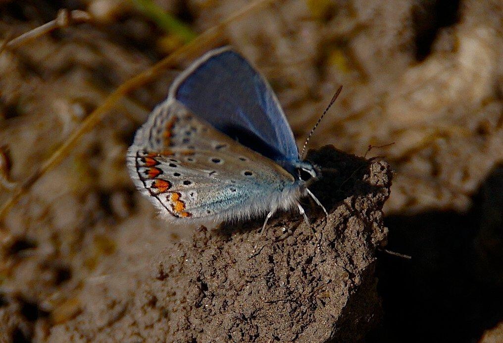 Голубянка - kolyeretka
