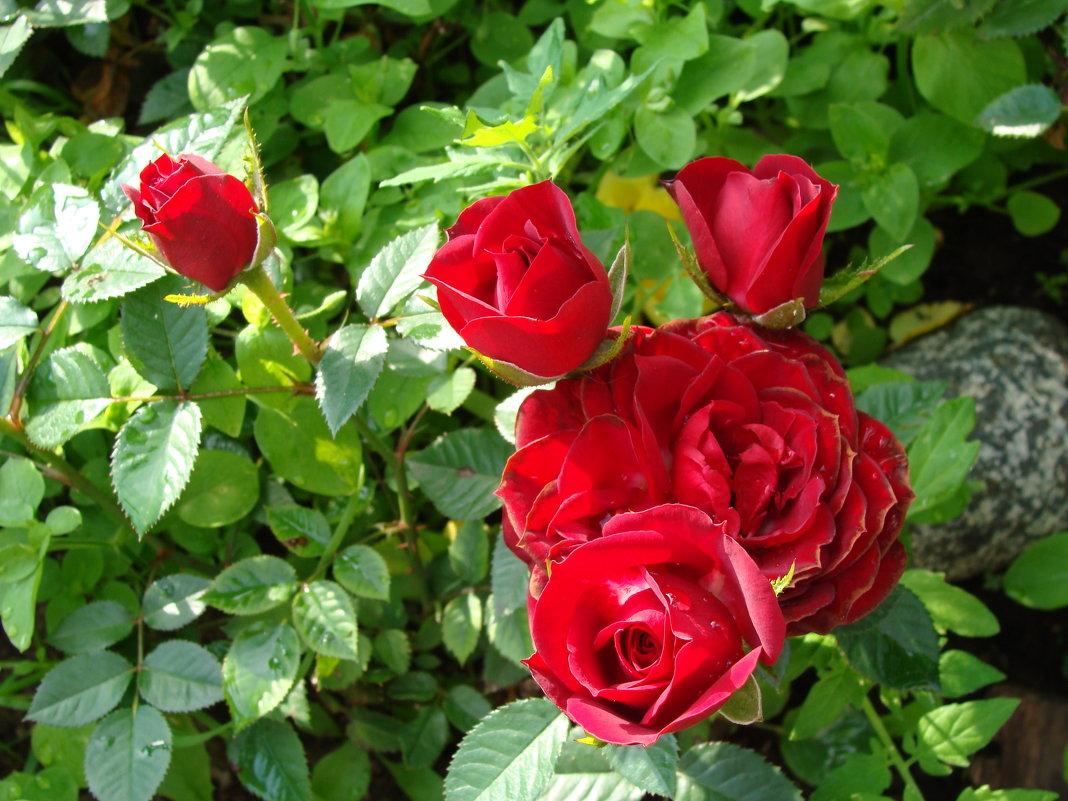Красные мини розы - laana laadas
