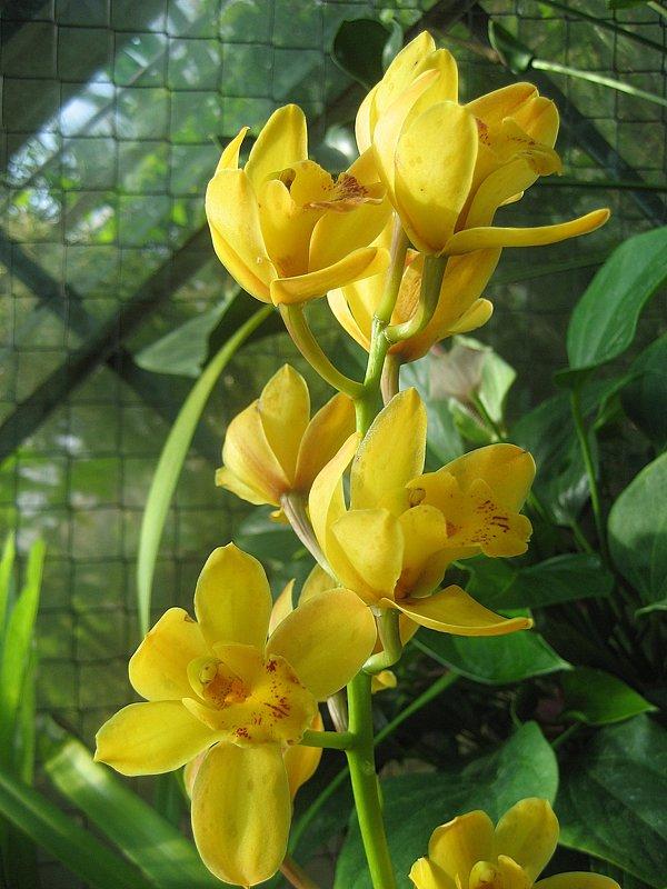 Орхидеи  2009 - Таллиннский Ботанический Сад - laana laadas