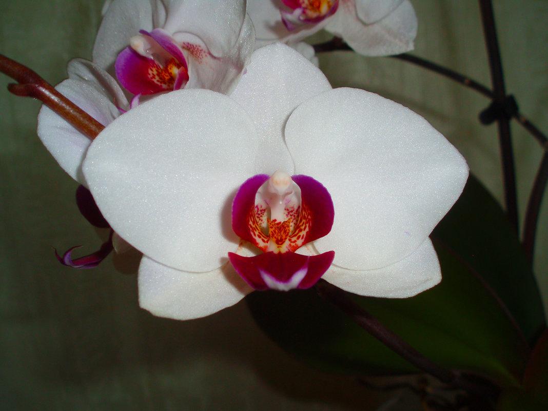 Орхидея - Валентина Лисенкова