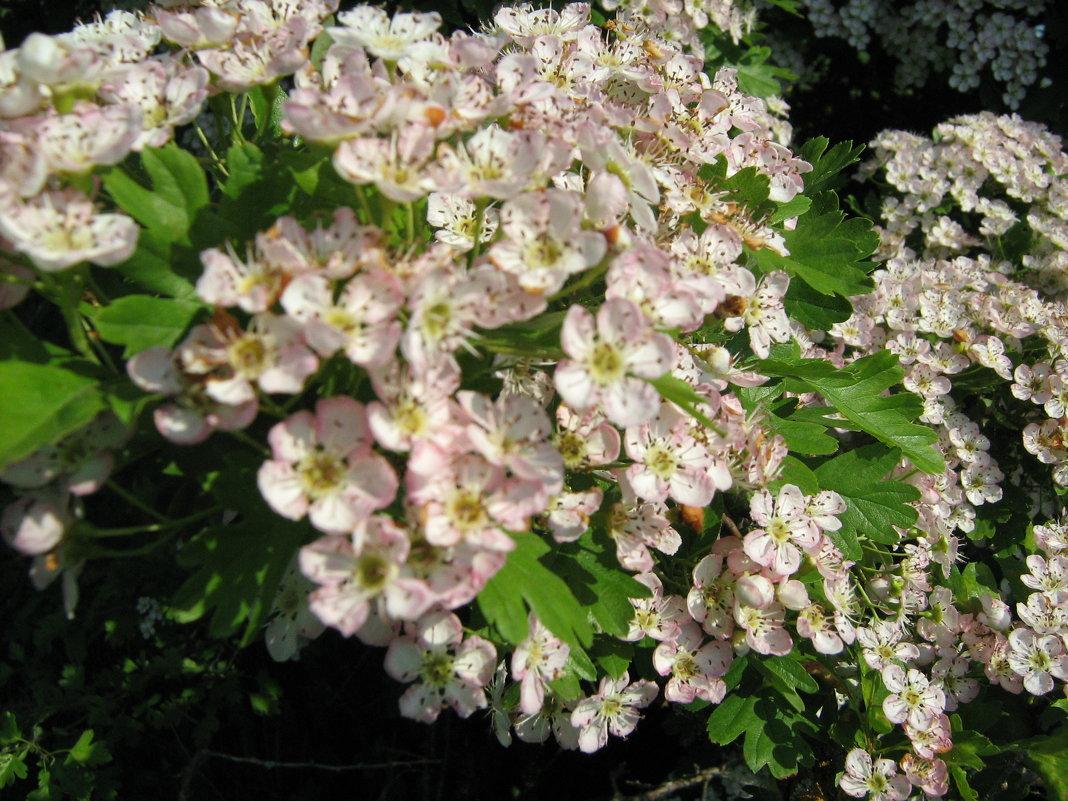 Весны цветение - Vera