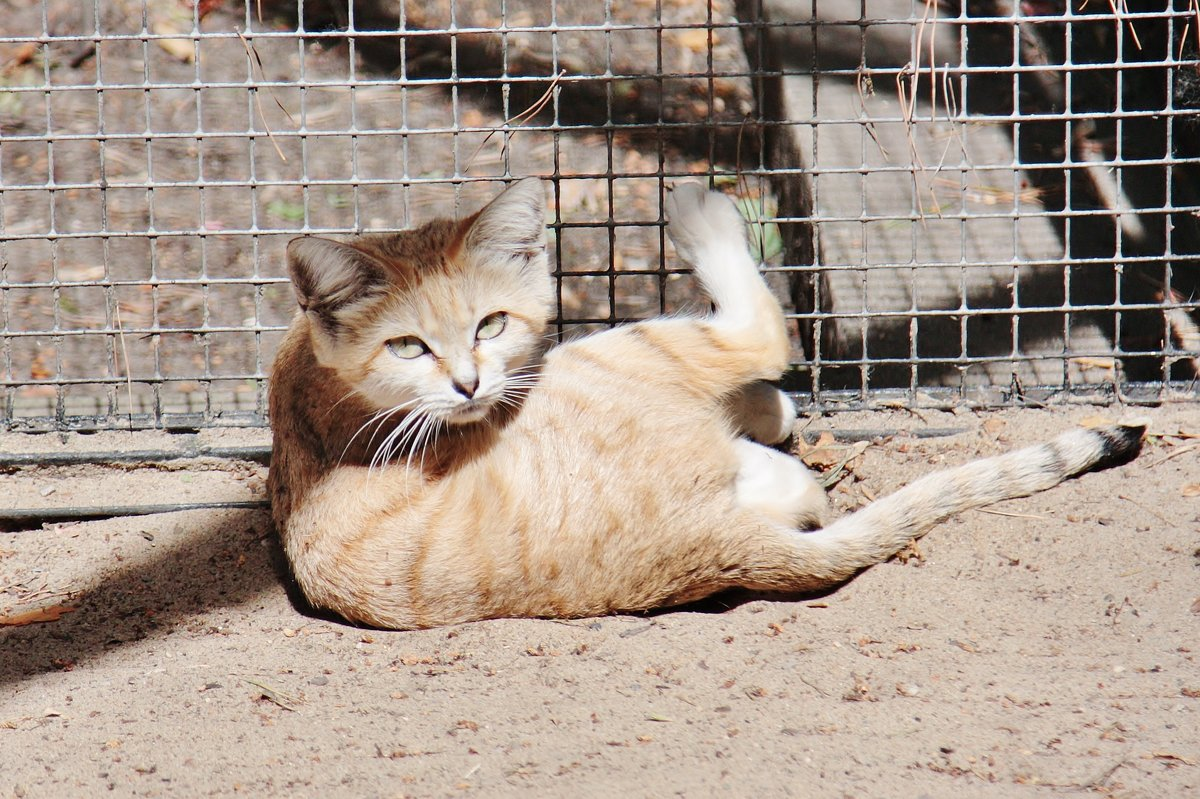 Барханный кот - Аркадий Лаптенко
