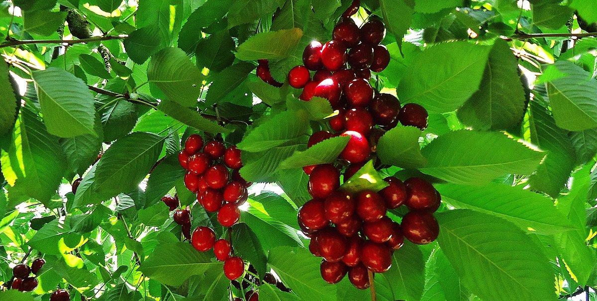 Вишня красная, вишня спелая - Galina Dzubina