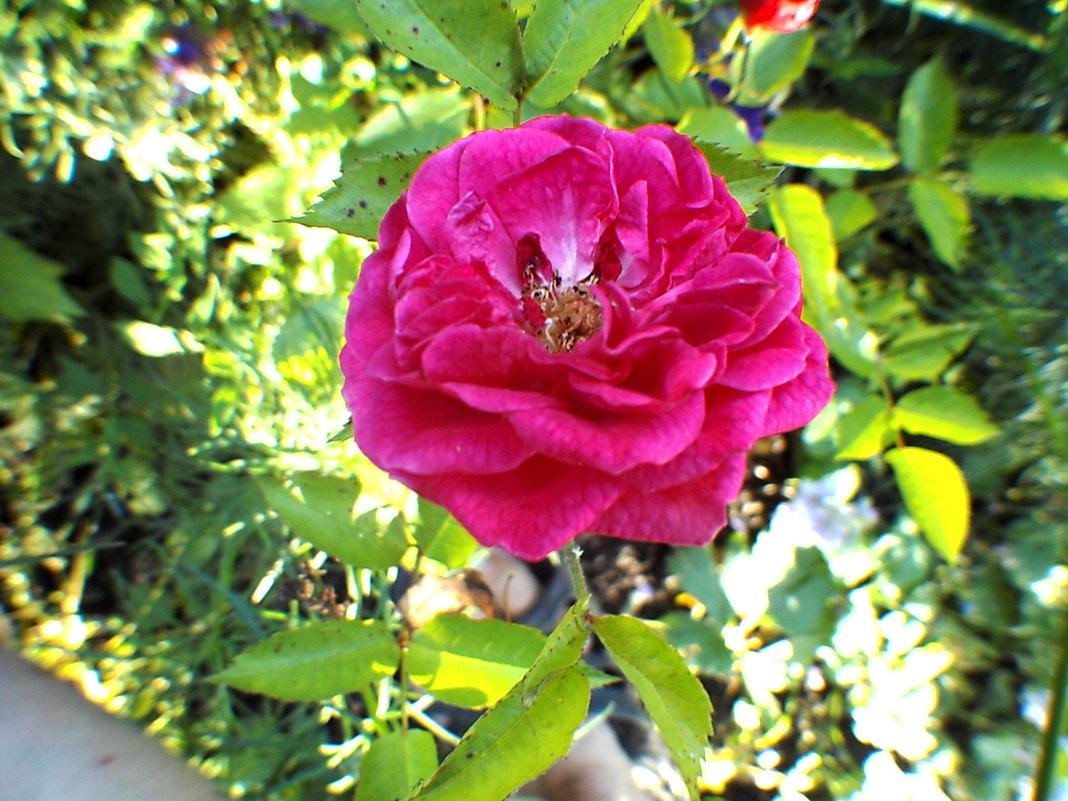 Роза - Vera