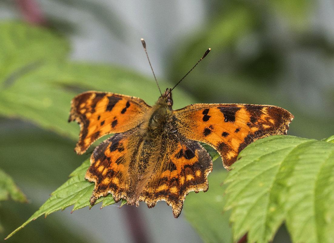 осенняя бабочка - Лариса Батурова