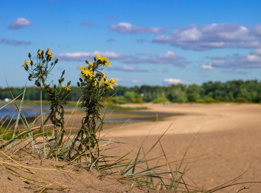 Цветы на дюне - Виталий