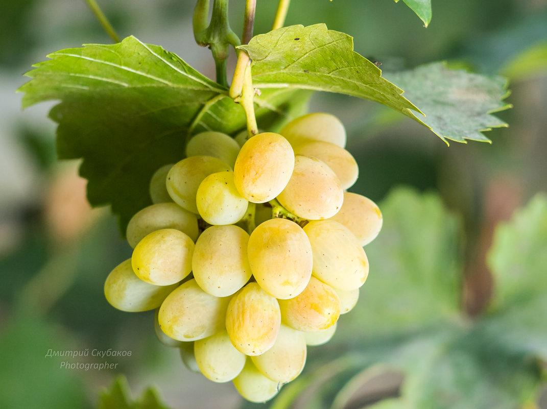 Подарок медовый сорт винограда 69
