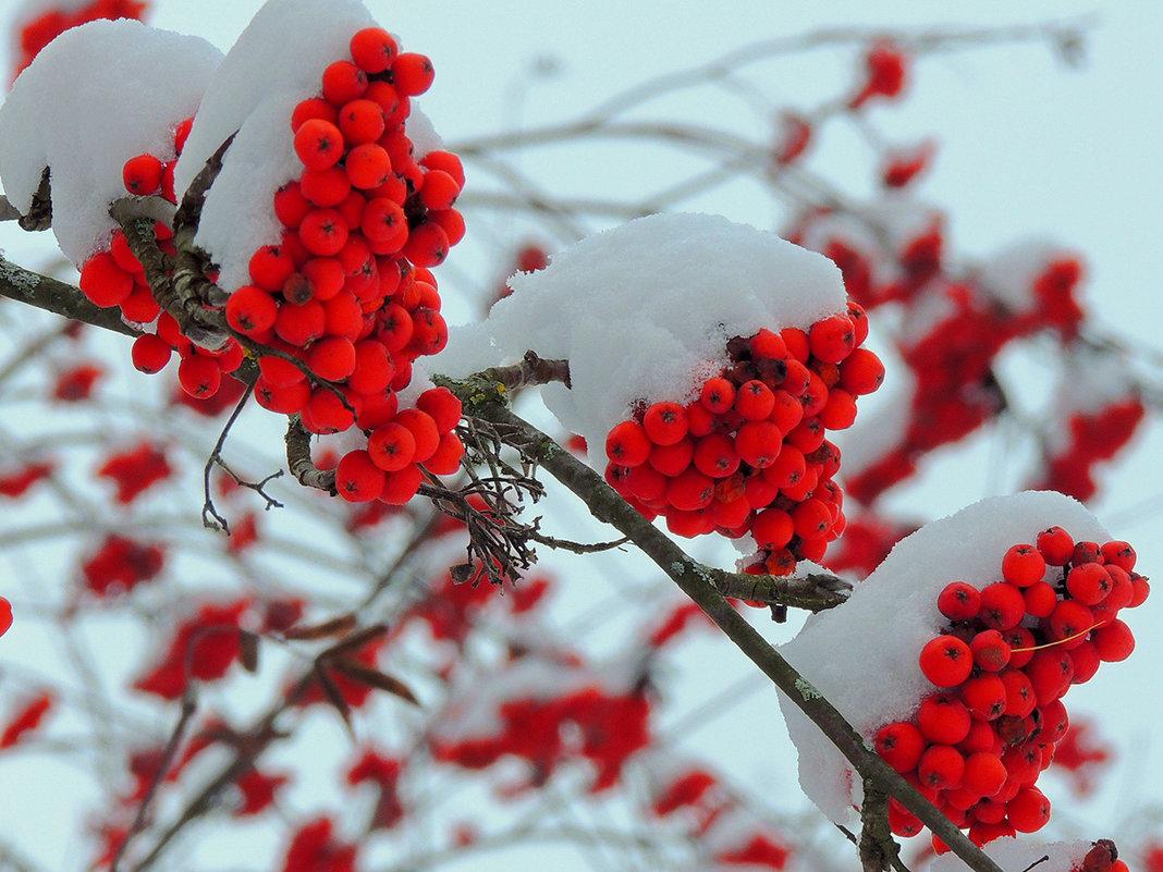 Рябина в снегу фото 553-976